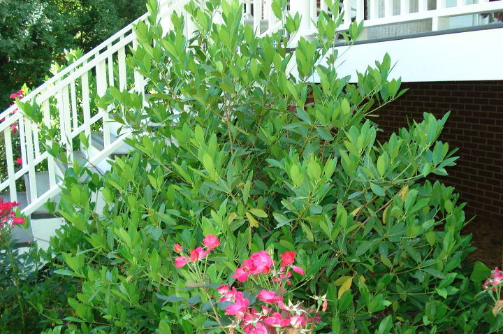 Shrubs in front of home