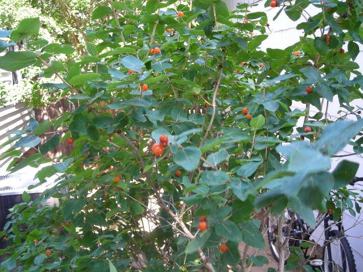 Unidentified bush in June