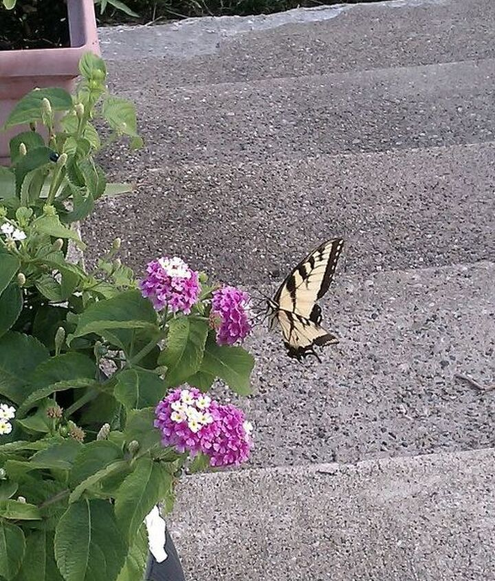 beautiful butterfly on my flowers my favorite pic, flowers, gardening, pets animals