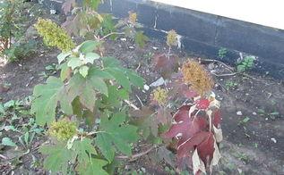 hydrangea growing tips dying, gardening, hydrangea