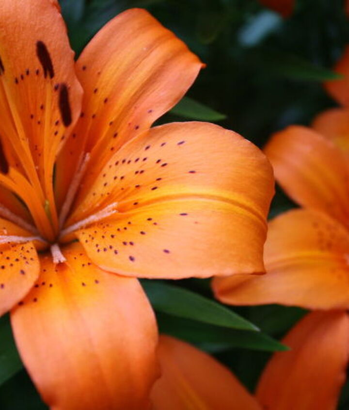 Orange Lilies..... I always try to plant my lilies, especially if planted next to one another at different times, not all in the same day.....I will plant only a couple bulbs at a time that way they all don't bloom at the same time!