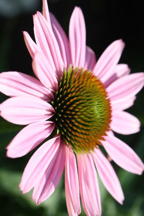 Deadhead faded flowers to prouduce longer bloom.