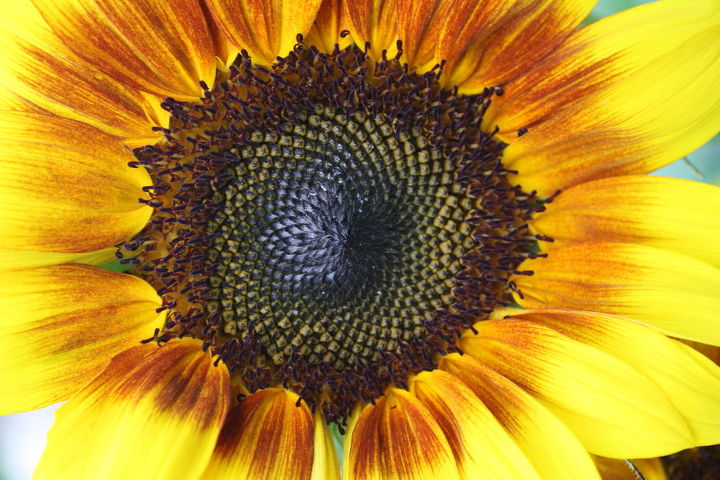 Once a flower has faded & deheaded, Place in sun, to fully dry out & if you see in the center of the sunflower, brush off the hair like fuzz & u will find hundreds of sunflower seeds that once dried out can be saved for next yrs harves