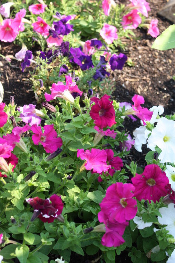 Petunia's.....Honestly, I've found the key to Petunia's, is deadheading all the faded flowers.