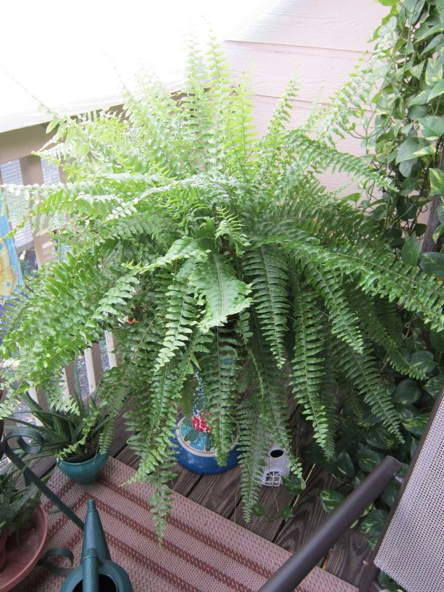 gardening recycling, gardening, outdoor living, repurposing upcycling, Old Bird Bath makes a great plant stand for fern The bird bath was not even a year old and it started leaking