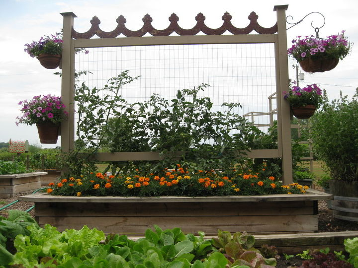 vegie gardening tomato trellis, gardening, Tomato trellis