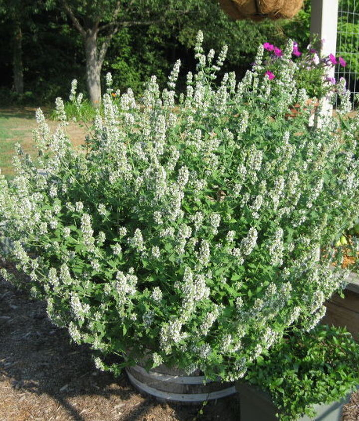 My catnip has gone crazy this year. It really loves the heat. I let it bloom instead of cutting it and drying it because it helps attract bees to my garden.