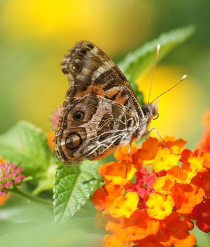 butterfly on my lantana, gardening, pets animals