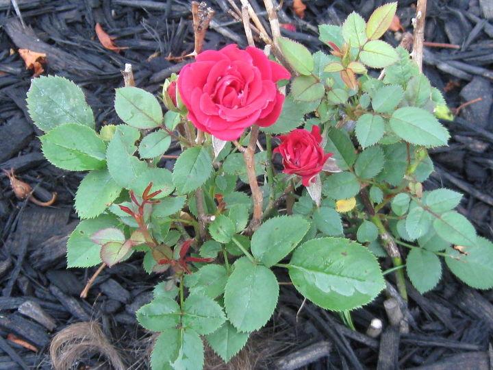 Baby roses bush