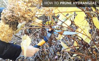 hydrangeas pruning tips tutorial, gardening, how to, hydrangea