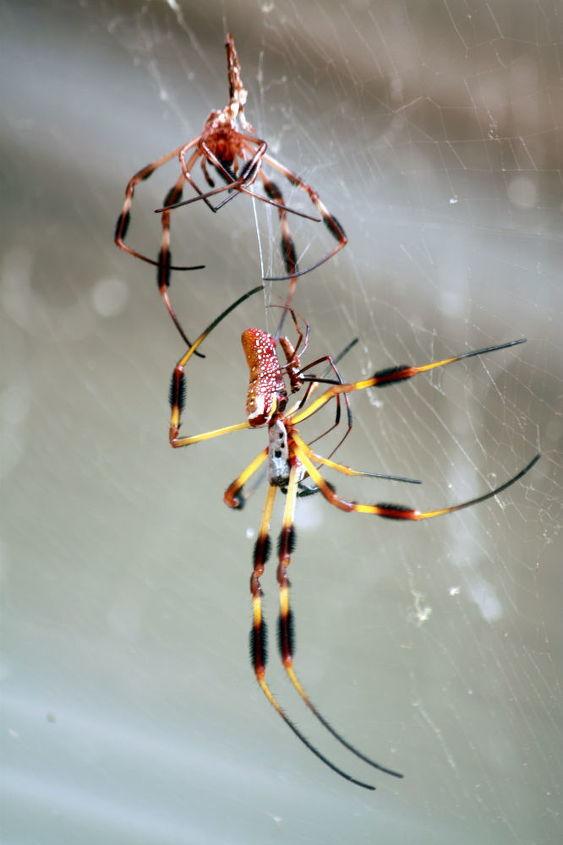 large spider, pest control