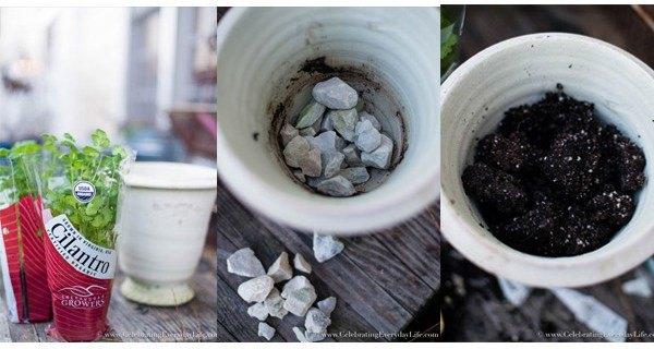 planting cilantro creating an indoor kitchen garden, container gardening, gardening