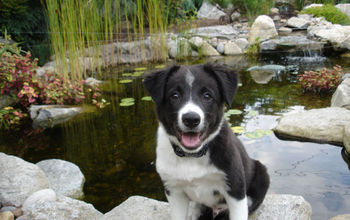 puppy brody visits the pond store, outdoor living, pets animals, ponds water features, Brody as a puppy by the pond his dad built for him
