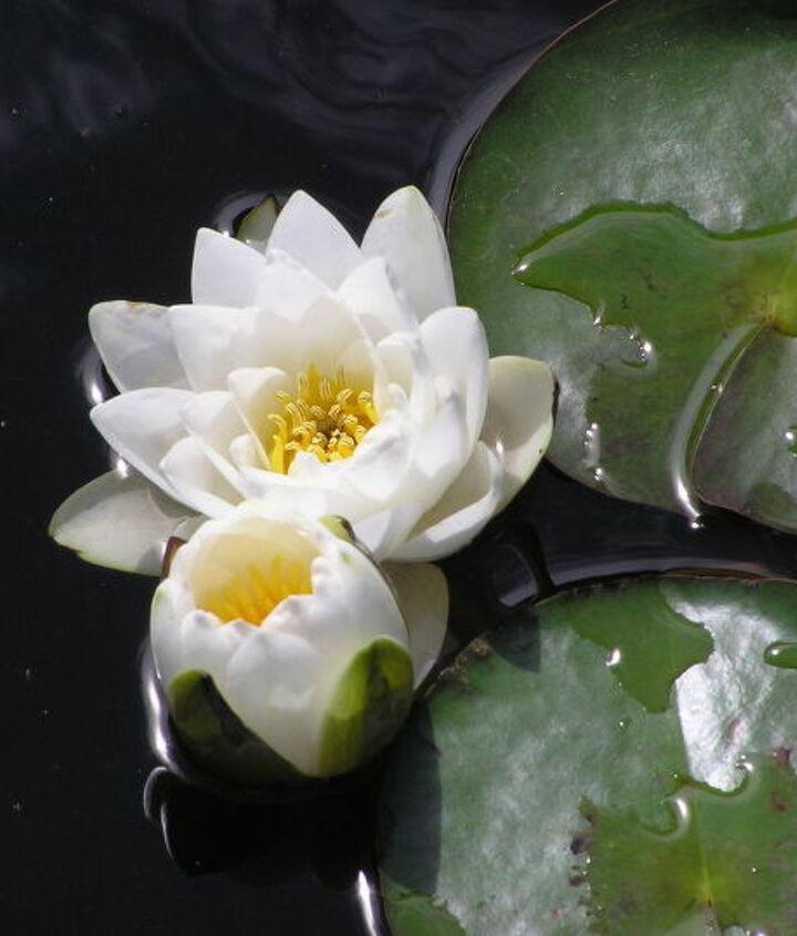 Hardy Lily