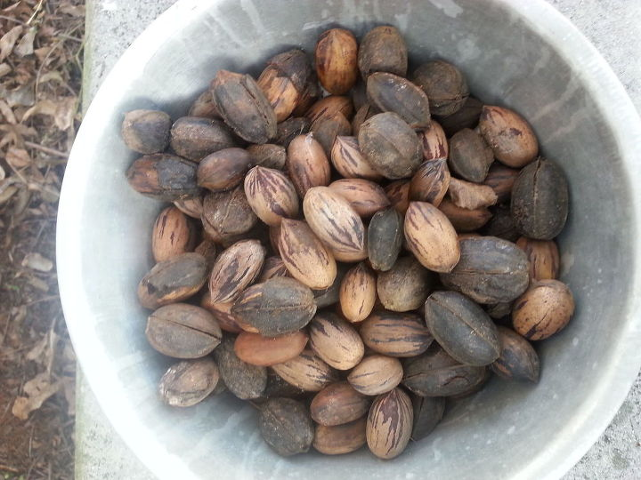 q how do i bring back this pecan tree to it s full potential, gardening, landscape, outdoor living, My Harvest You can see there are some here that still have the outer shell still on them