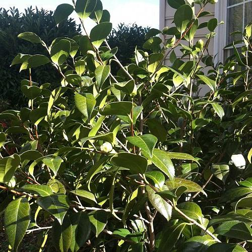 q can anyone tell me what this flowering bush is, flowers, gardening