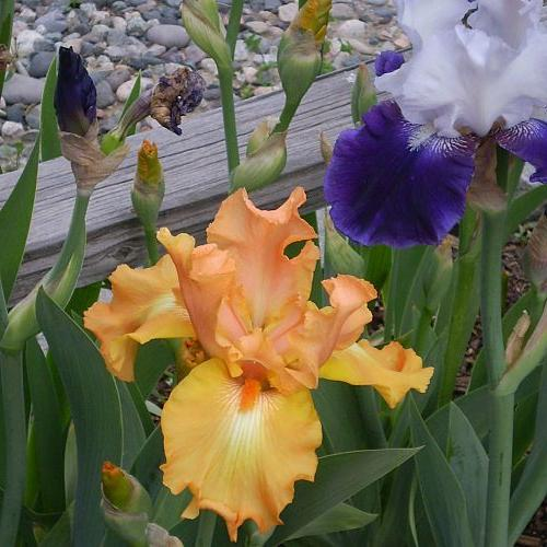 iris i ve planted, gardening
