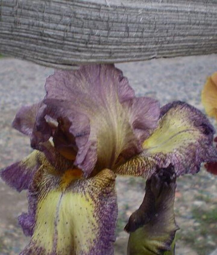 iris i ve planted, flowers, gardening