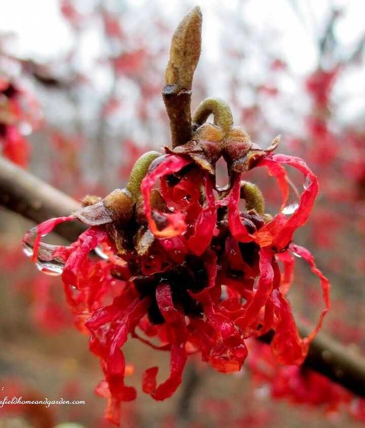 "Witch Hazel ""Diane"" ~ a fragrant winter bloomer"