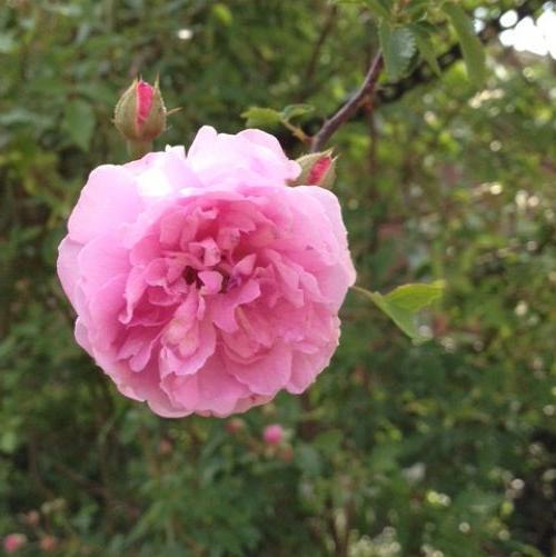 5. Rose