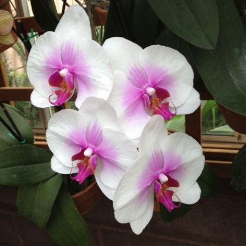 4. Orchids. Phalaenopsis, 'Moth Orchid'.