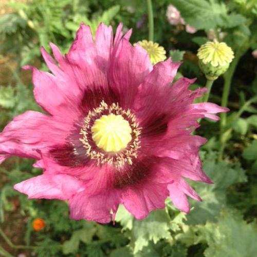 2. Poppy, i think?