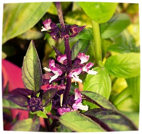 4. Beneficial Herbs -  Plant basil, chamomile, thyme and other herbal veggie companions. Add color and fragrance to your garden while repelling pests.