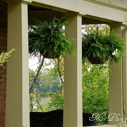 how to have hanging ferns that are the envy of the neighborhood, flowers, gardening, Every Spring I buy Boston ferns in hanging baskets at Lowe s or Home Depot