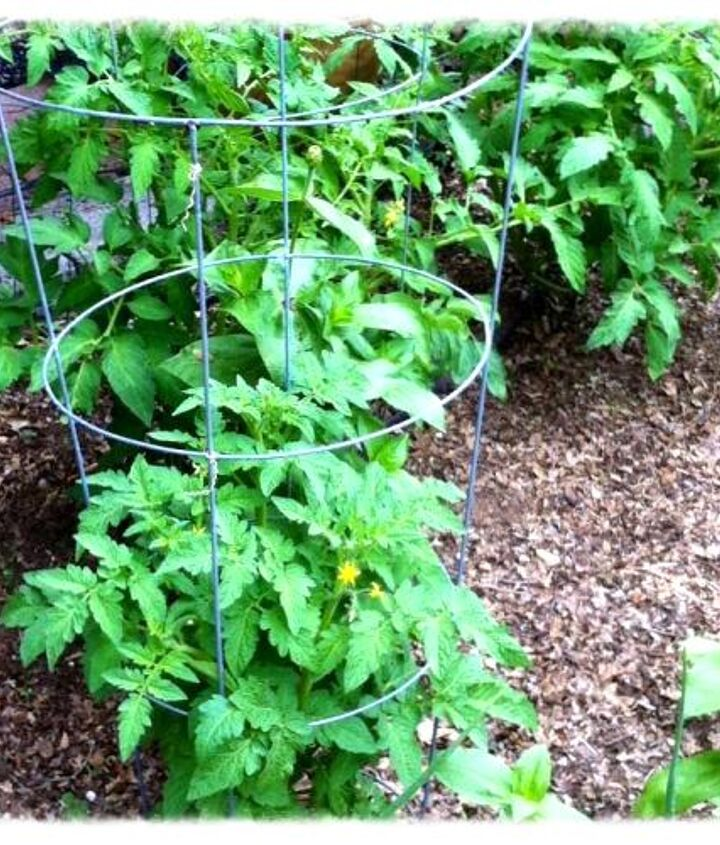 My tomatoe plants, that I had to cover up 3 times since spring started because of the temperation dropping.