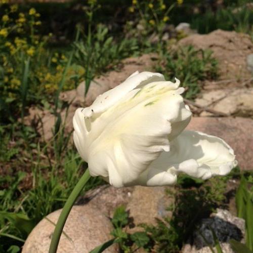 flowers in bloom, flowers, gardening, Parrot Tulip
