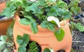 how to plant a strawberry jar that lives, gardening, Strawberry Jar that LIVES