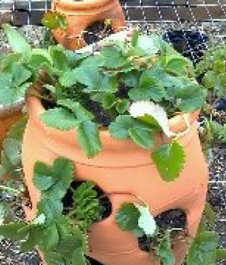 Strawberry Jar that LIVES! http://www.caleyskitchengarden.com/2013/03/how-to-plant-strawberry-jar-that-lives.html