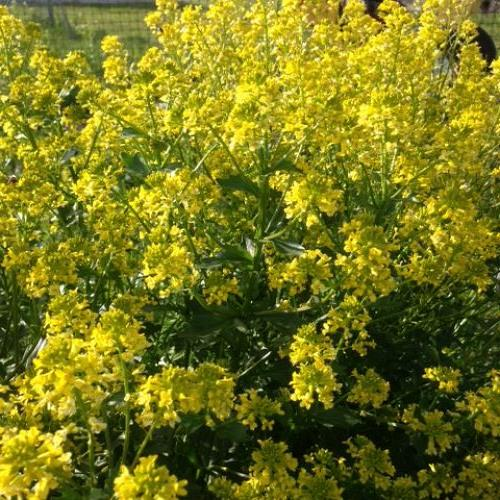 have NO idea what this is...was thinking wild mustard?
