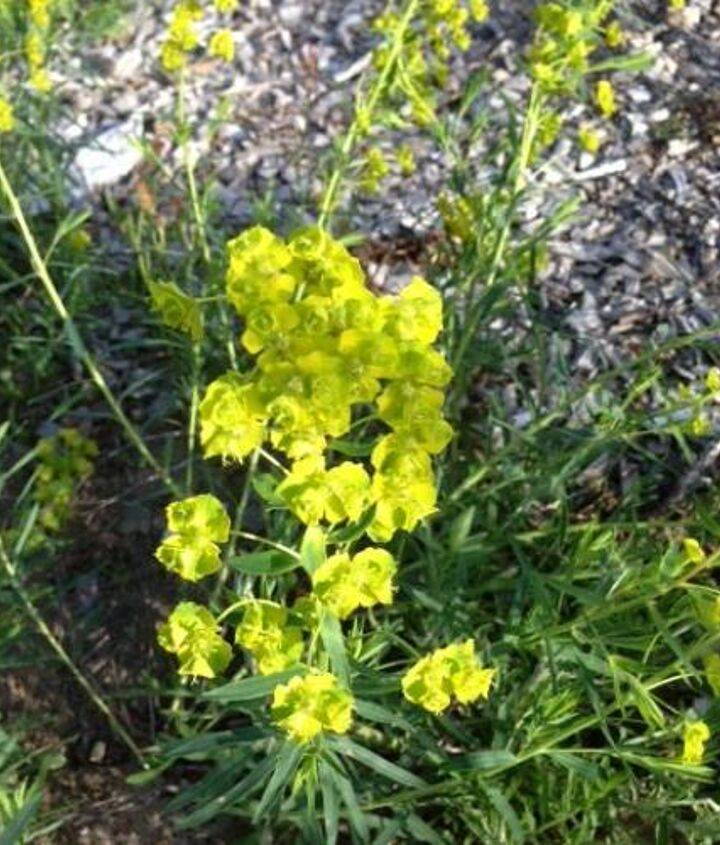 I believe that this is some kind of spurge.