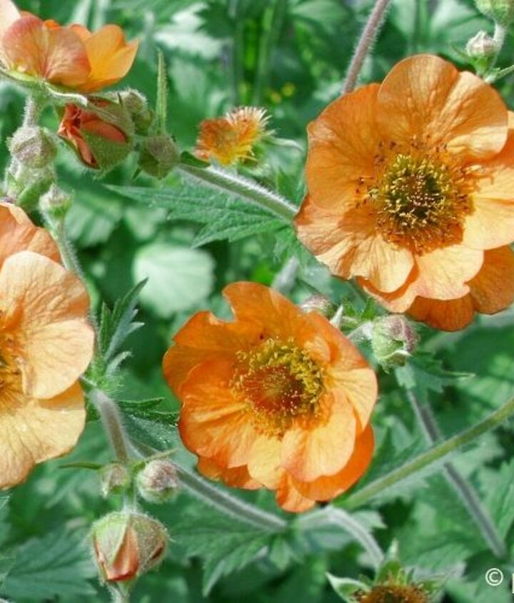 Totally Tangerine Geum: pale-orange single-petal blooms with bits of red throughout.