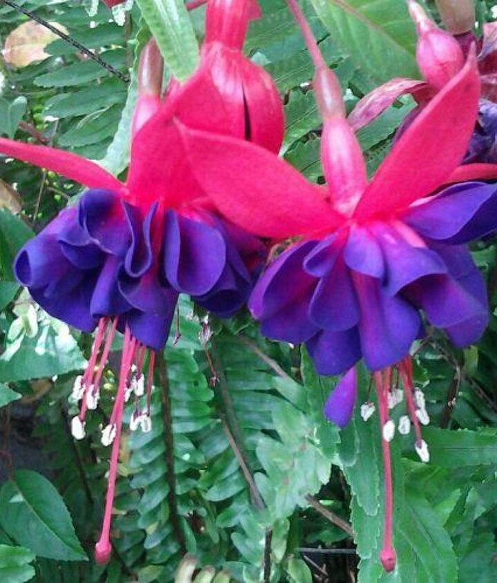 bleeding heart is the name and blooms in the springtime on one wall, gardening