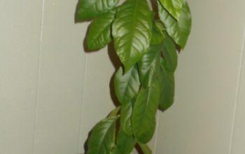 Growing Lemon Tree From Seeds