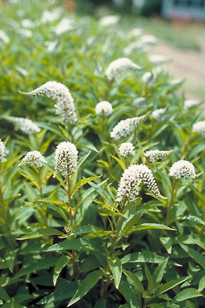 invasive plant horror stories, flowers, gardening, perennials, It looks harmless enough Photo via Bluestone Perennials
