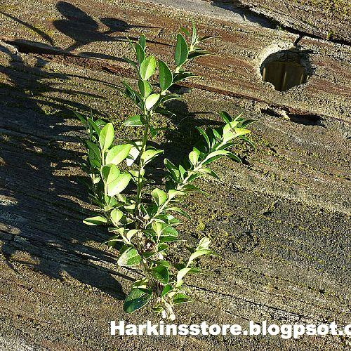 buxus cuttings tutorial, gardening, Take as many cuttings as you want I never use the very top the leaves are too delicate