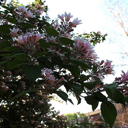 what is this shrub, flowers, gardening