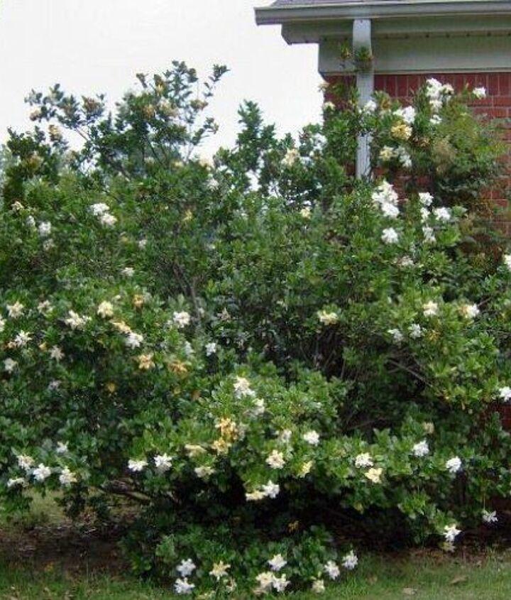 q gardenia, gardening