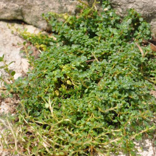 Close up of Creeping Thyme.  When you step on it a lovely scent is released.