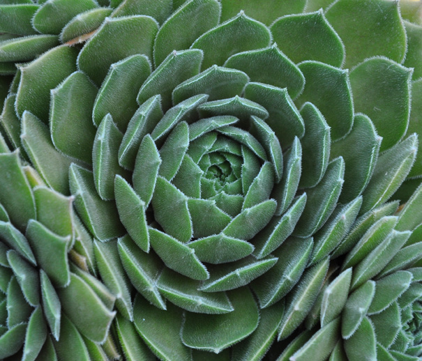 Hens and Chickens (Sempervivum 'Gamma') has furry blue-green leaves.