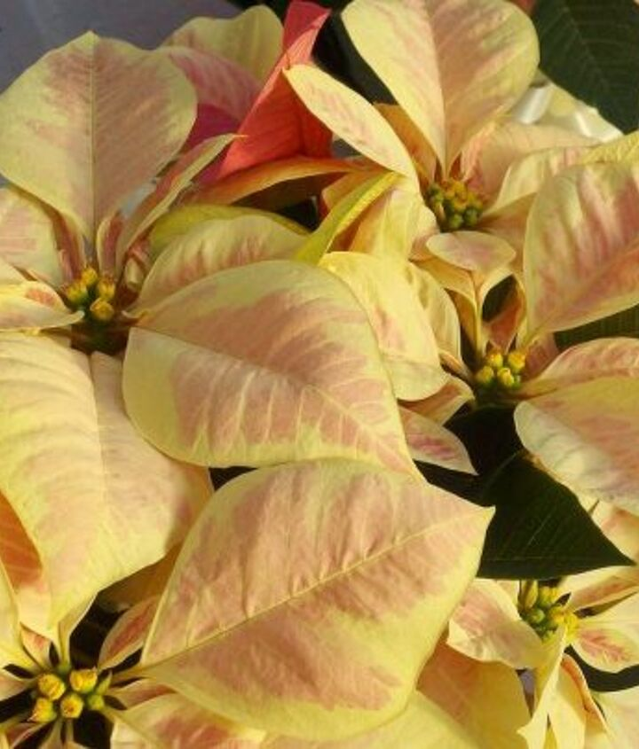 these are just four of the 600 poinsettias in a greenhouse at campbell road nursery, gardening