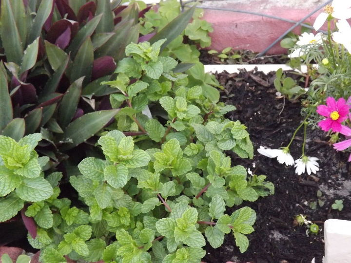 herbs and flowering plants planted all together and doing well, flowers, gardening
