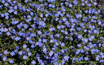 Who wants to guess the name of this evergreen groundcover that is now in bloom? I went out a took a few photos to share.