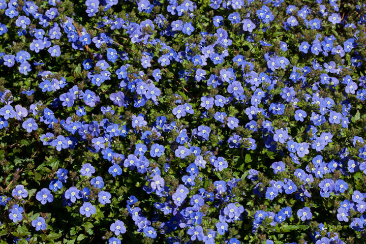 who wants to guess the name of this evergreen groundcover that is now in bloom i, flowers, gardening, A view of a large mass in bloom