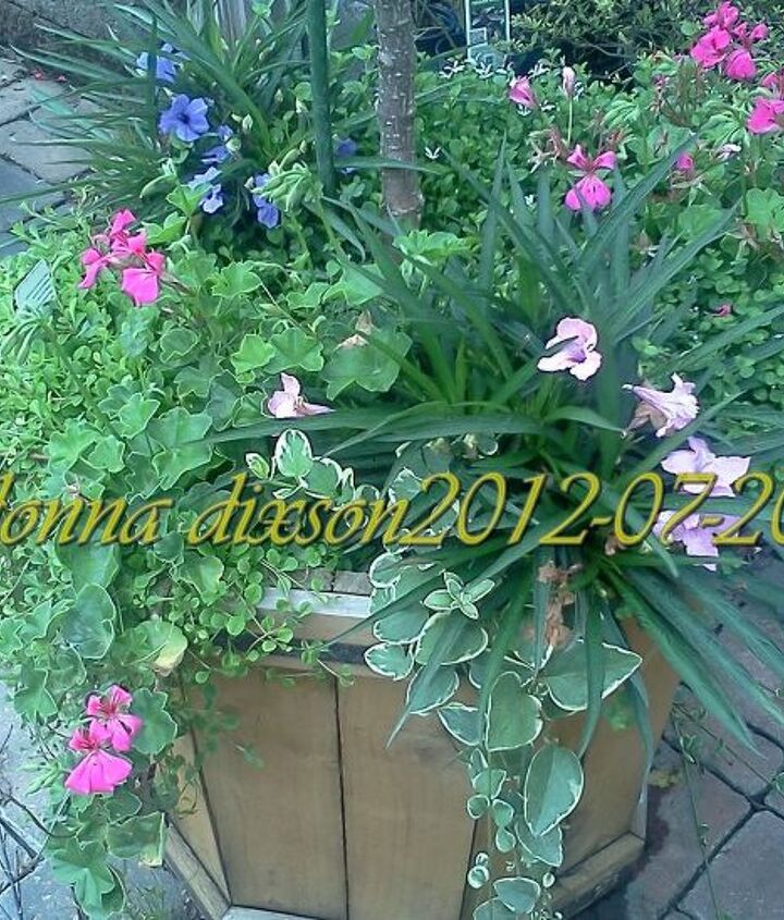underplanting mix of annuals and perennials, flowers, gardening, hydrangea, perennials