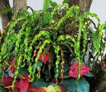 gardening tips croton red indian identifying, gardening, The leaves a long and curly