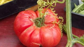 , p se 0 950 kg taille de la plante environ 1 50 m 7 fruits sur ce pied soit 4 5 kg Plant en fin juin et r colt en septembre octobre